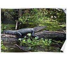 Sunbathing Alligator Poster