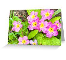 Springtime's Here Primroses Greeting Card