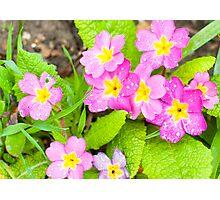 Springtime's Here Primroses Photographic Print