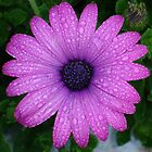 Purple African Daisy with Raindrops by taiche