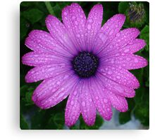 Purple African Daisy with Raindrops Canvas Print