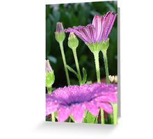 Purple And Pink Daisy Flower in Full Bloom Greeting Card
