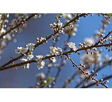 Plum blossom in the sky spring confirmation Photographic Print