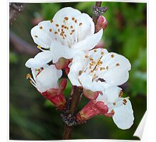 Apricot Blossom At Dawn Poster