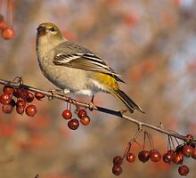 A female Pine Grosbeak 01. by DigitallyStill