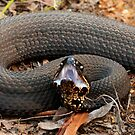 Cottonmouth Moccasin Posed For Strike II by KSkinner