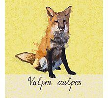 Vulpes vulpes Photographic Print