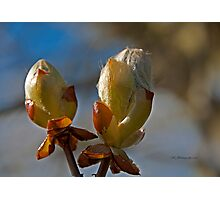 Spring Buds~ Photographic Print