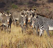 GREVY'S ZEBRAS - KENYA by Michael Sheridan
