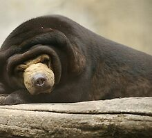 Sun Bear Sleeping by z00girl