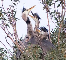 Heron Chicks on the Nest by Marvin Collins