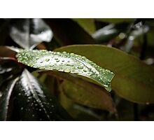 Rainy Magnolia Photographic Print