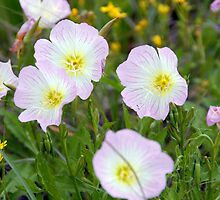 Pink Evening Primrose in TX by plsphoto