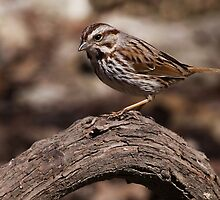Song Sparrow 1 by John Absher