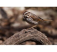 Song Sparrow 1 Photographic Print