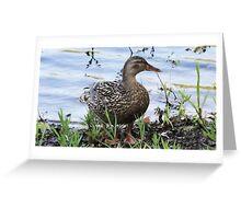 Female Mallard Hen on the Concord River Greeting Card