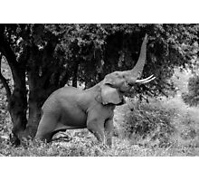 Reaching Elephant Photographic Print