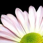 Macro of Pink Daisy by Lauryn Guyer