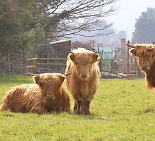 HIGHLAND CATTLE by Sue Ford