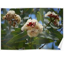Twin-leaved bloodwood - Eucalyptus perfoliata  Poster