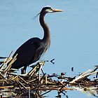 The Great Blue Heron by lorilee