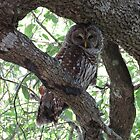 The Mother Barred Owl guarding her nest... by enyaw