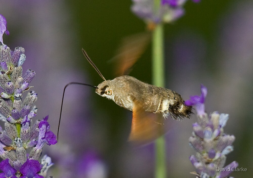 Humming Bird Moth 5 by David Clarke