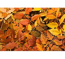 Yellow & Red Autumn Leaves Photographic Print