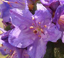 Purple Azalea by CanDuCreations
