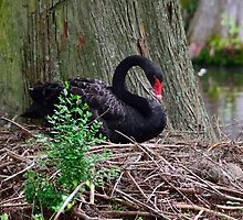 Mama Swan on her nest by AlixCollins