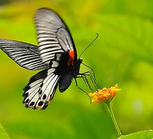 Great Mormon Butterfly by Tony Wong
