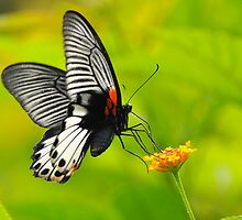 Great Mormon Butterfly 2 by Tony Wong