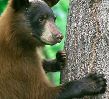 American black bear by anibubble