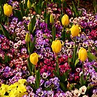 Tulips Among Pansies by Rodney Williams