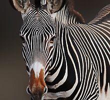 GREVY'S ZEBRA - KENYA by Michael Sheridan