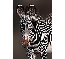 GREVY'S ZEBRA - KENYA Photographic Print
