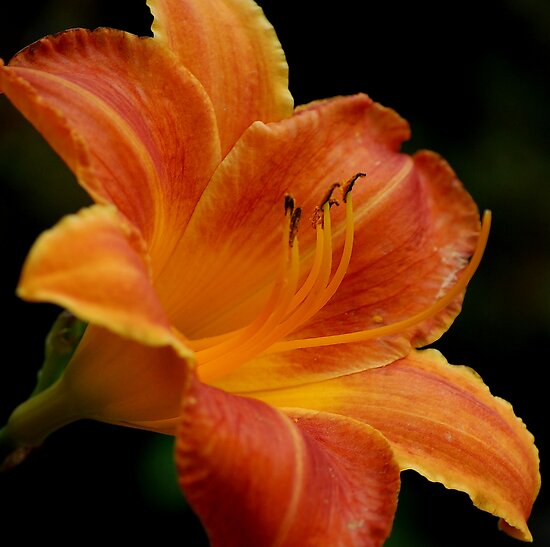 Gilded Lily by Adrienne Berner
