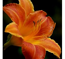 Gilded Lily Photographic Print