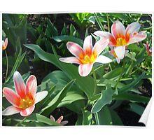 Tulips Tulips Poster