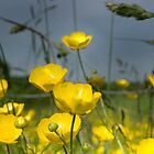 Buttercups by michaelcommon