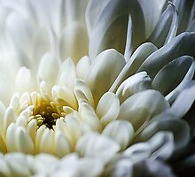 White Flower by michaelcommon
