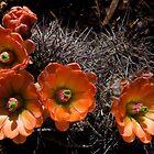 Cactus Blossoms by Maureen Jochetz