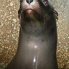 Sea Lion Close Up by z00girl