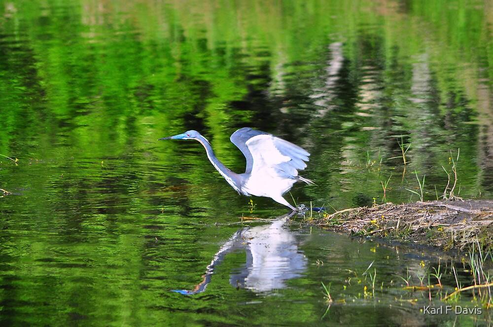 Tri-Colored Heron by Karl F Davis