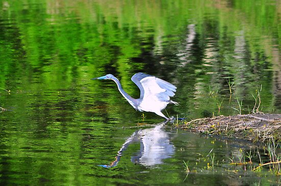 Tri-Colored Heron by Karl F Davis