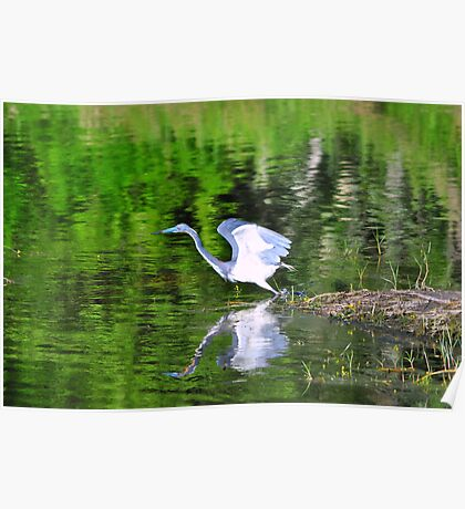 Tri-Colored Heron Poster