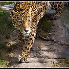 Jaguar at Chester Zoo by Shaun Whiteman