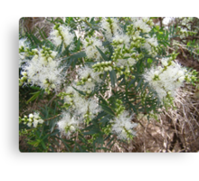 Melaleuca linarifolia, Snow in Summer opening its buds. Canvas Print