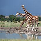 Reticulated Giraffe, Maasai Mara, Kenya by Neville Jones