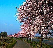 Almond trees in Bockenheim-Germany by GOSIA GRZYBEK